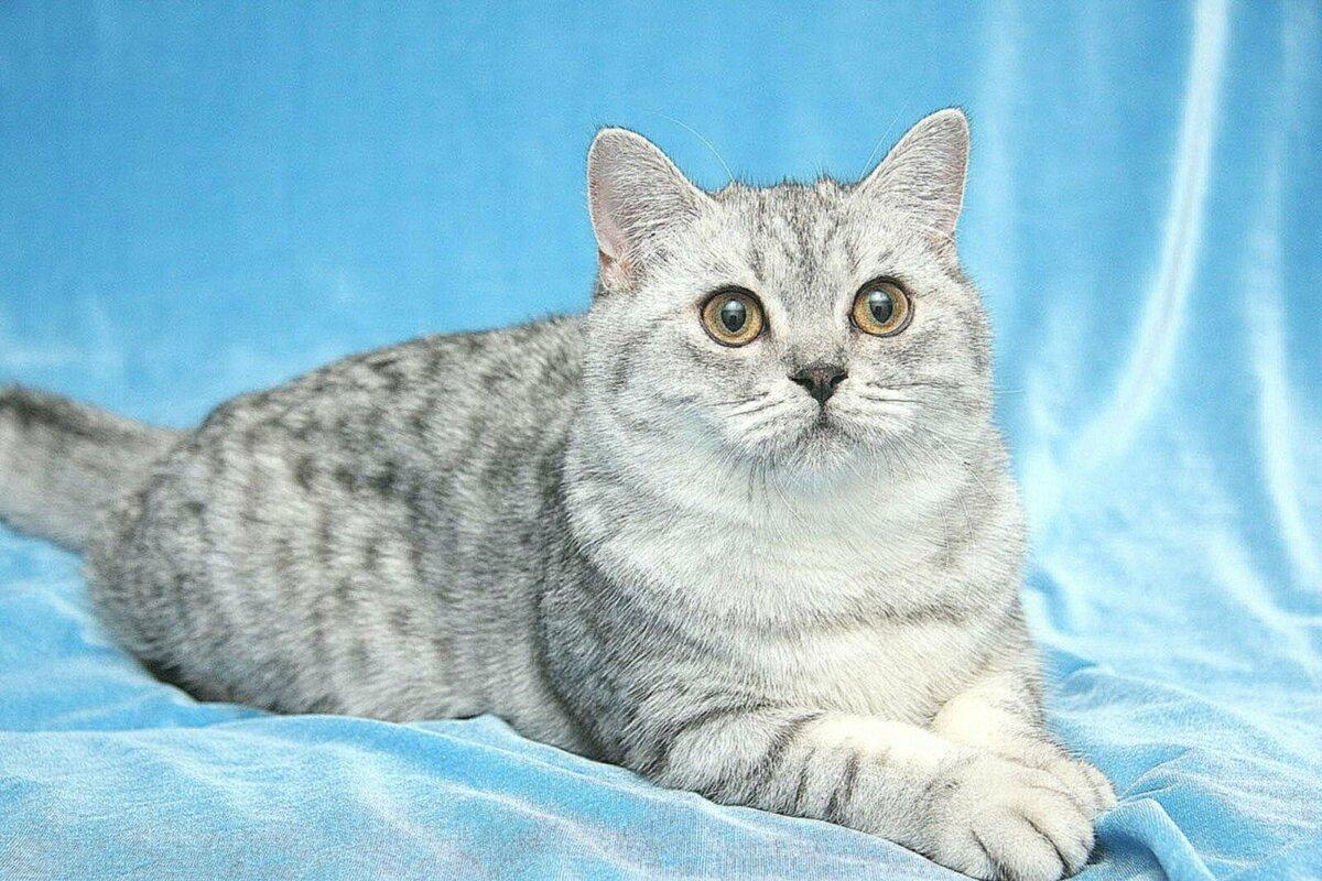 Вербным, картинки британских кошек и котов
