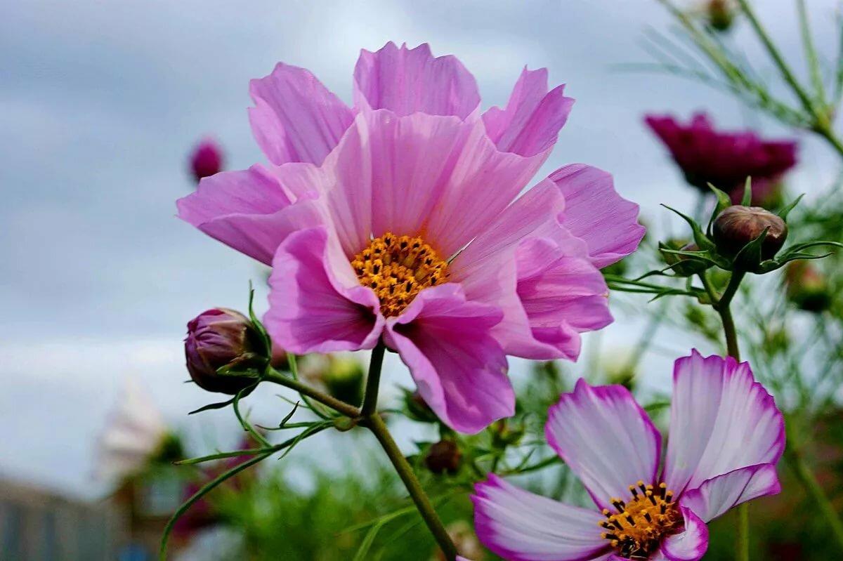 Картинка космея цветы