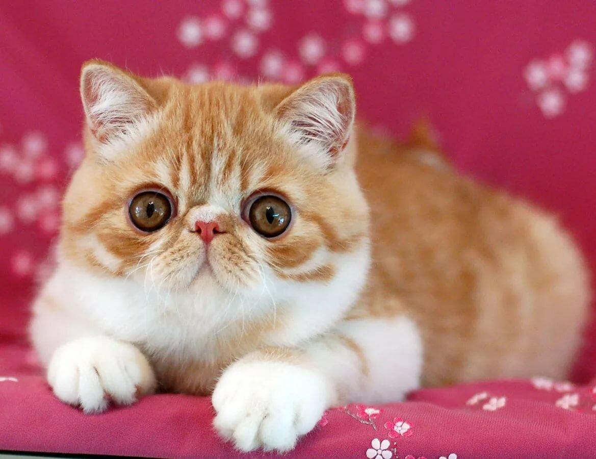 Картинки котов экзот