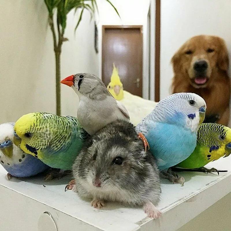 фартук картинки с попугаем и хомячком буратино