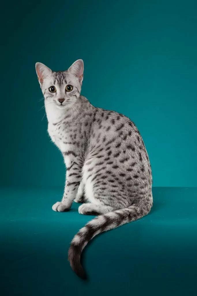 Египетская породы кошки картинка