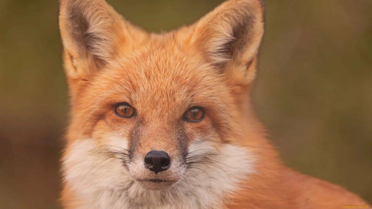 обо мне, картинки с изображением лисицы выбор