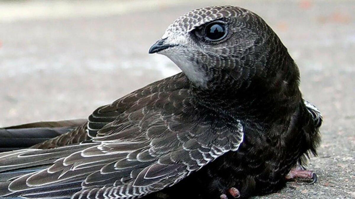 Птицы стрижи в картинках
