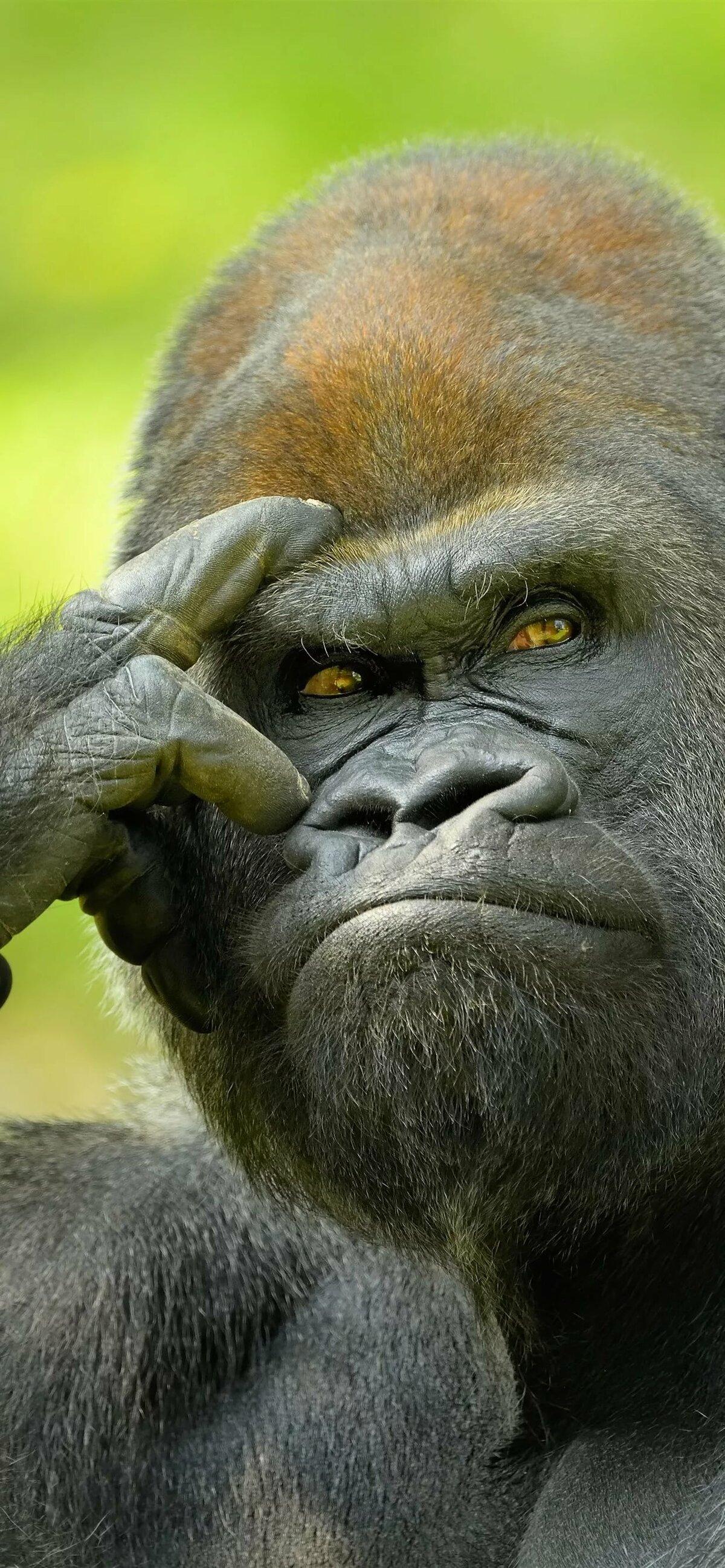 Днем рождения, гориллы картинки смешные
