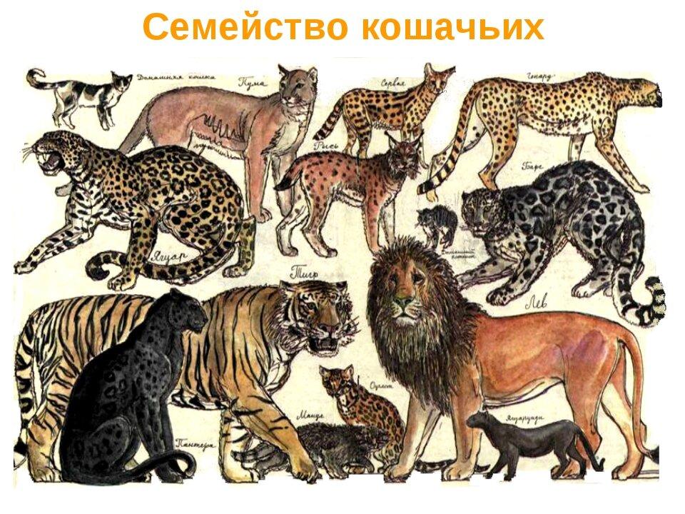 Картинки семейство кошачьих с названиями для начальной школы
