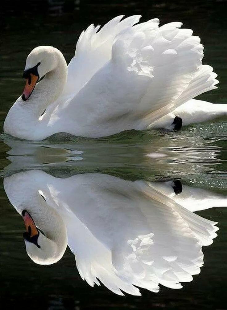 Лебеди живые картинки