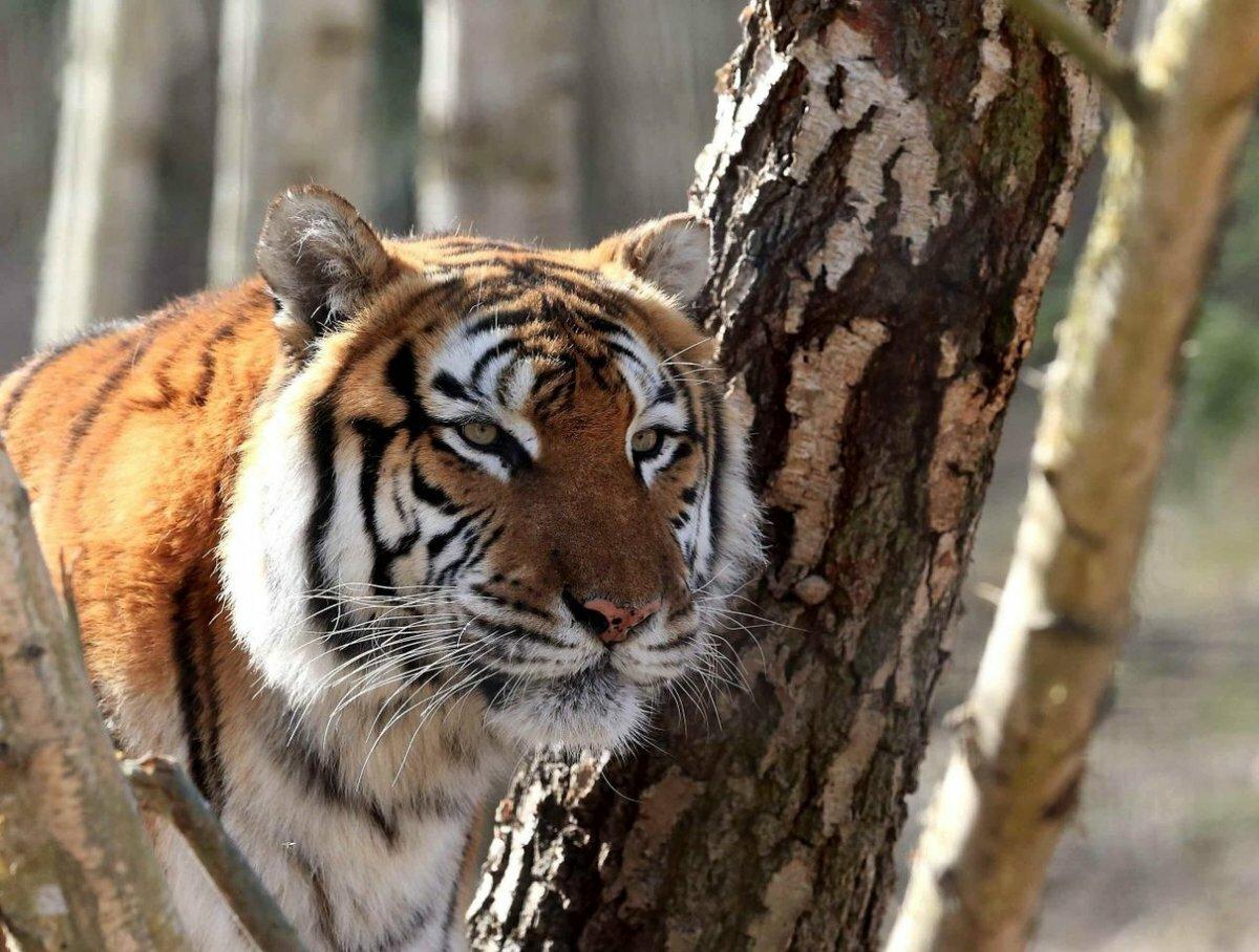 Картинки на тему амурский тигр
