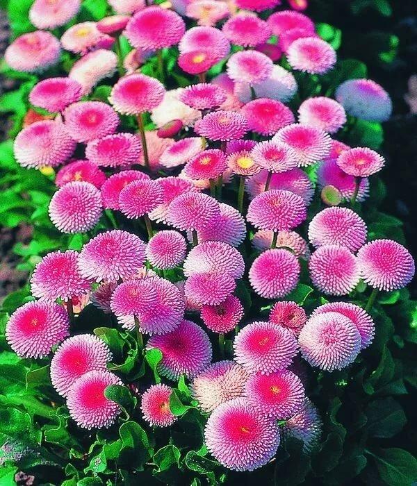 Цветы однолетники купить, цветы оптом