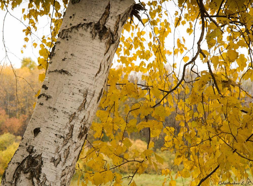 Картинка береза осени