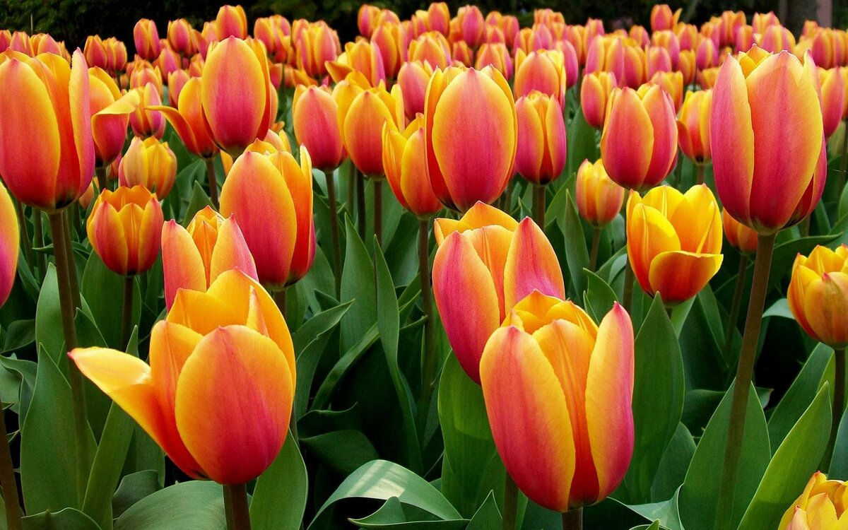 Картинки тюльпанов