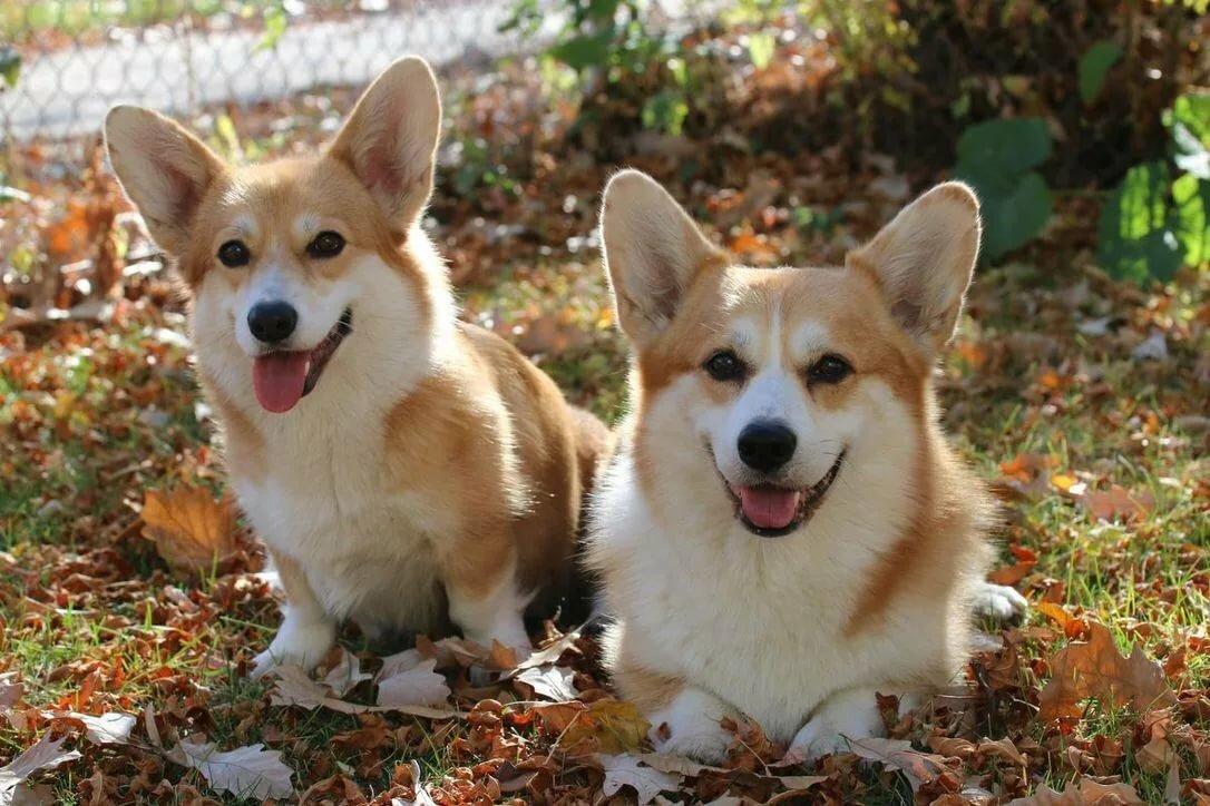 Собаки породы вельш-корги картинки