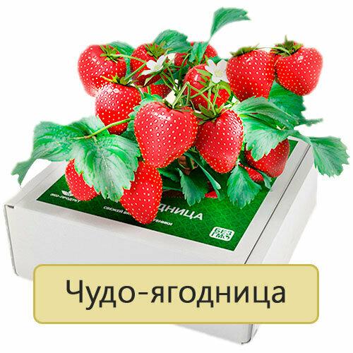 Чудо-ягодница Сказочный сбор в Одинцово