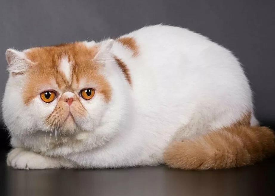 машине коты с приплюснутой мордой порода и фото иногда надо