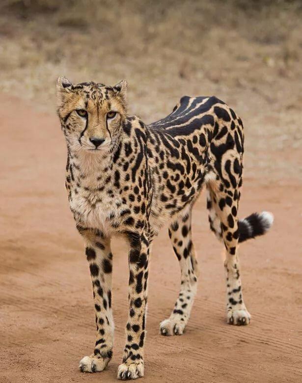 сохранить картинки королевские гепарды кафельникова поссорилась отцом