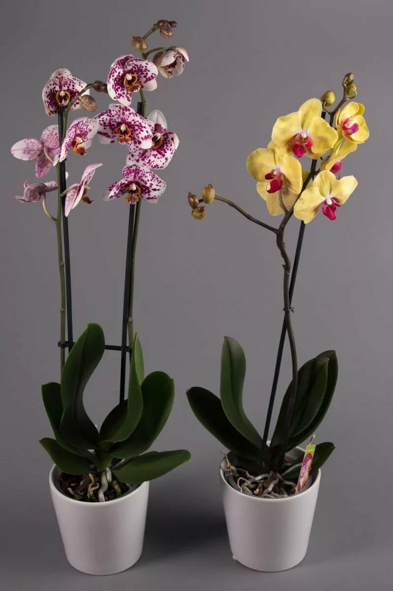 Виды и сорта орхидей с фото и названиями должны