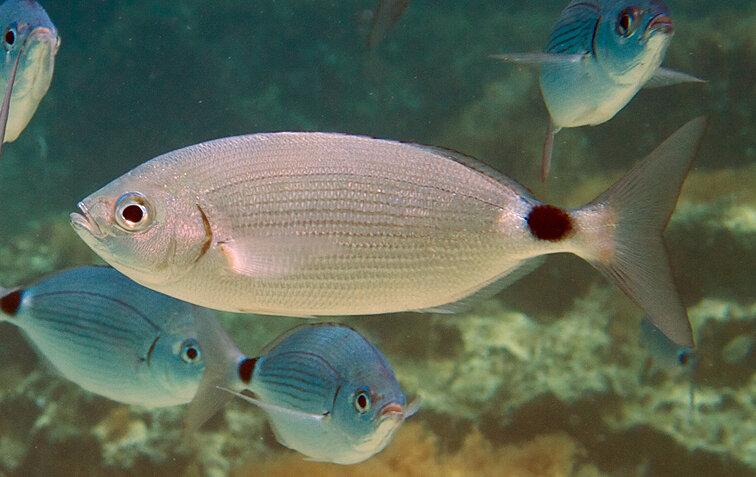 рыбы адриатики фото