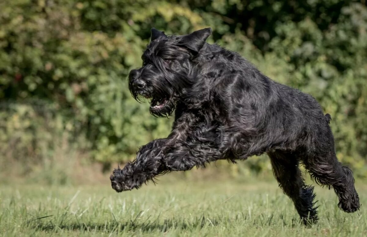 Ризеншнауцер собака картинки