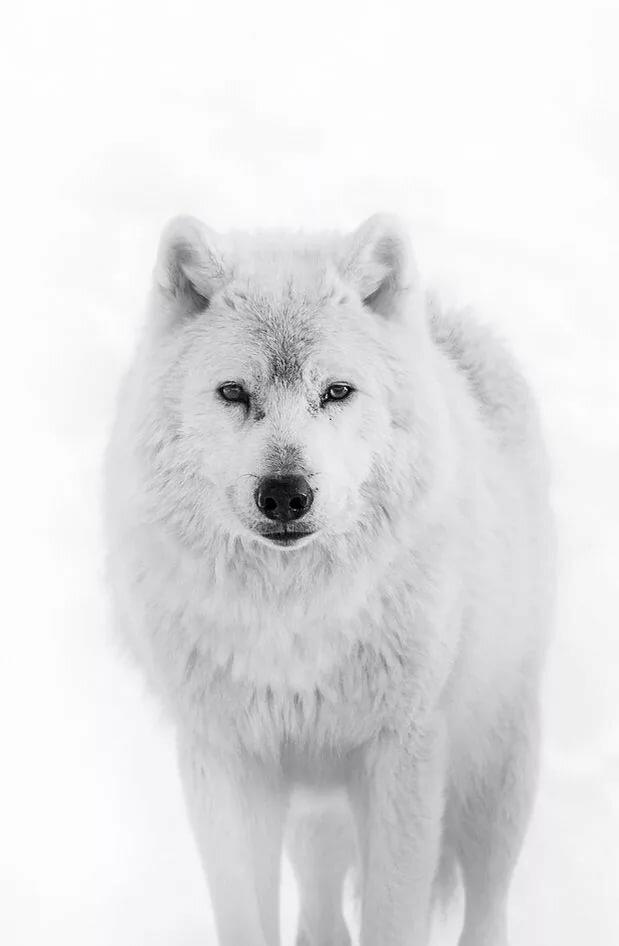 Белый волк картинки 5 класс