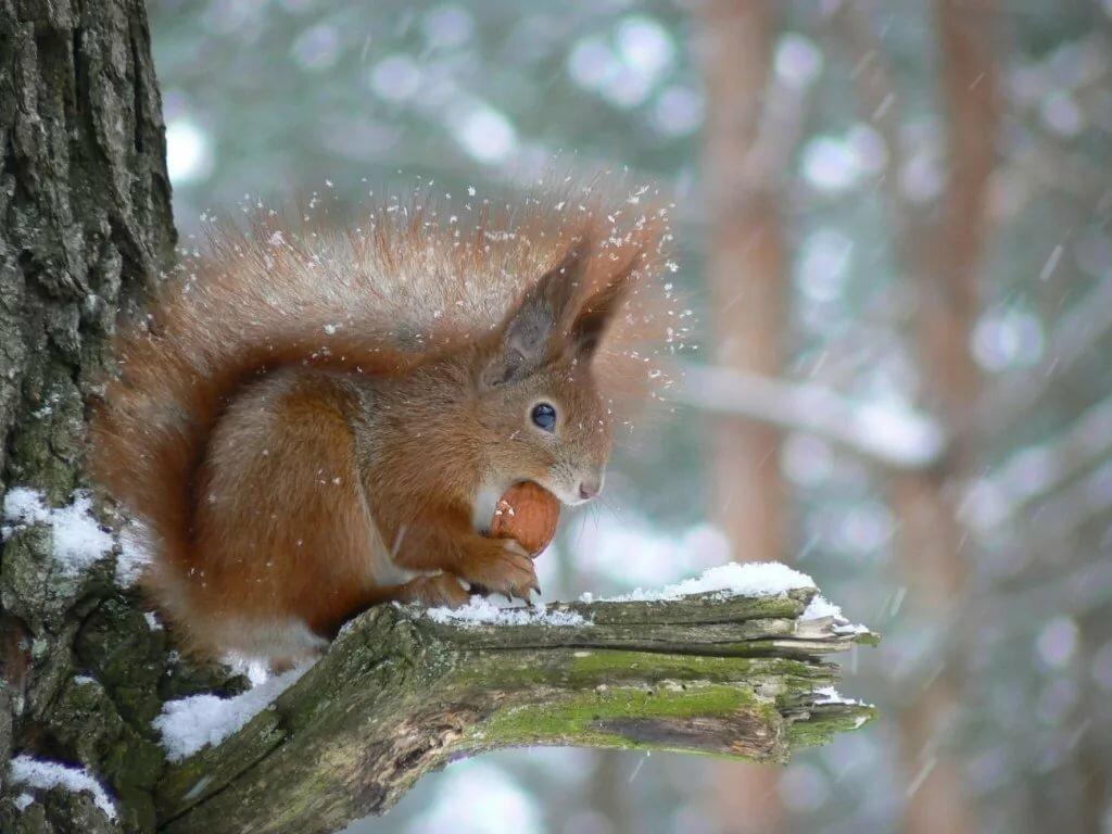 фото белки в зимнем лесу чтобы