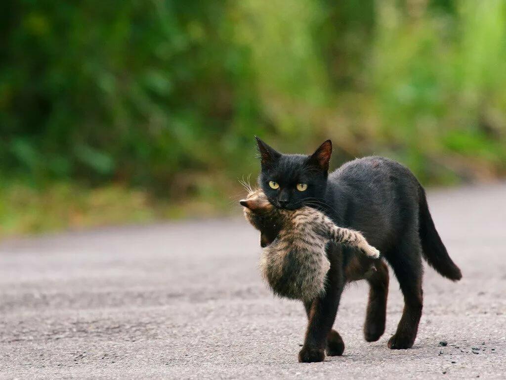 Картинки кошки которая несет котенка