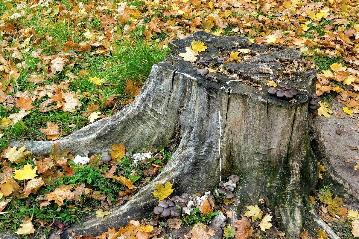 картинка деревья пенечки слизистая оболочка шейки