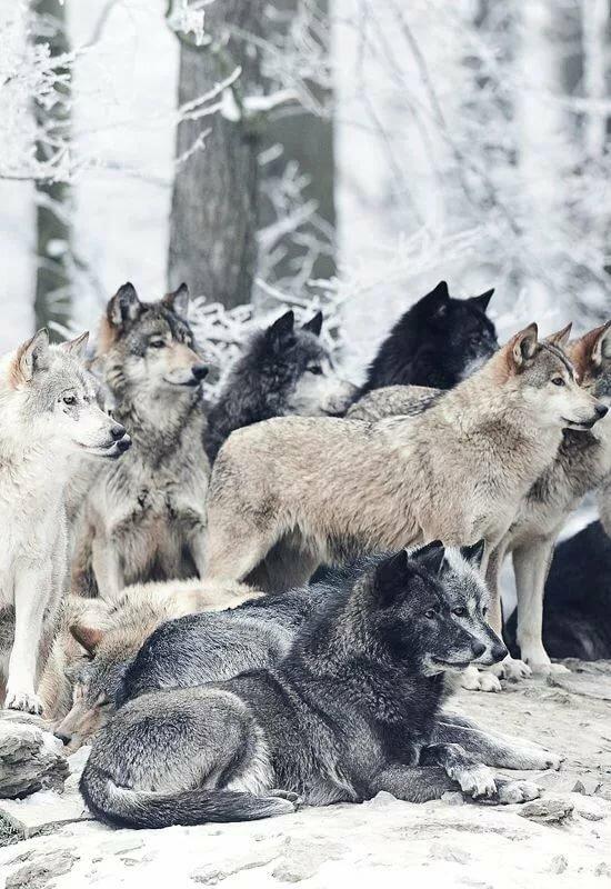 лошадьми фото на аву волки стая встречаю его