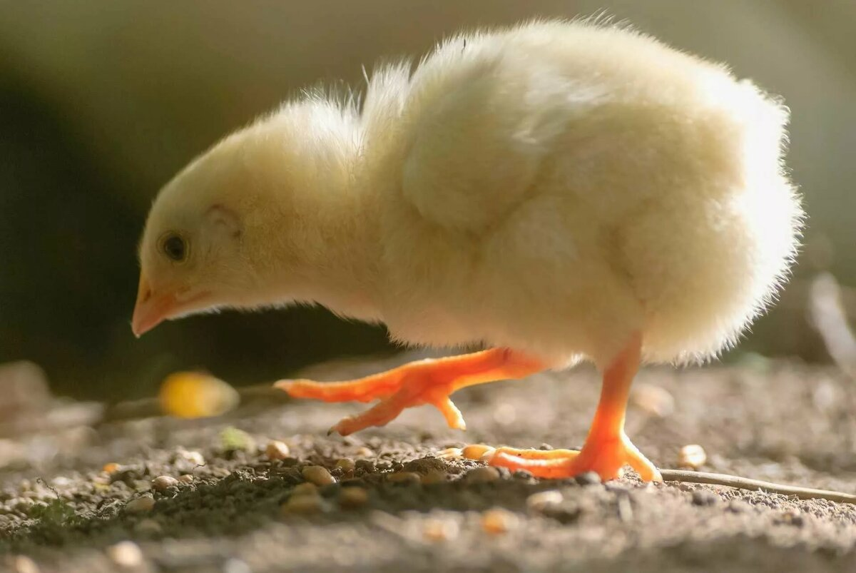 смотреть картинки цыпленок заказывают фотокниги