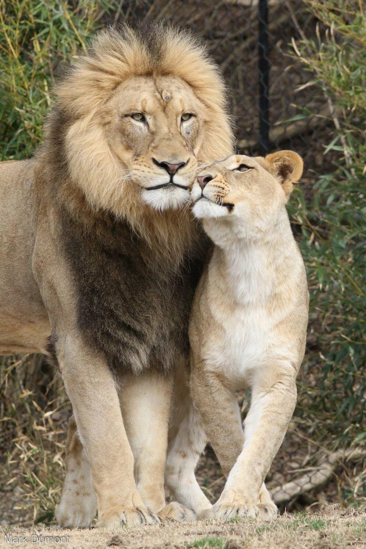 лев любит львицу картинки