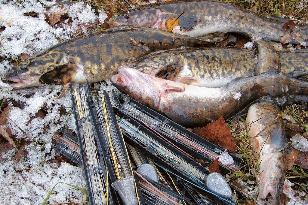 Ловля налима зимой на волге в тверской области