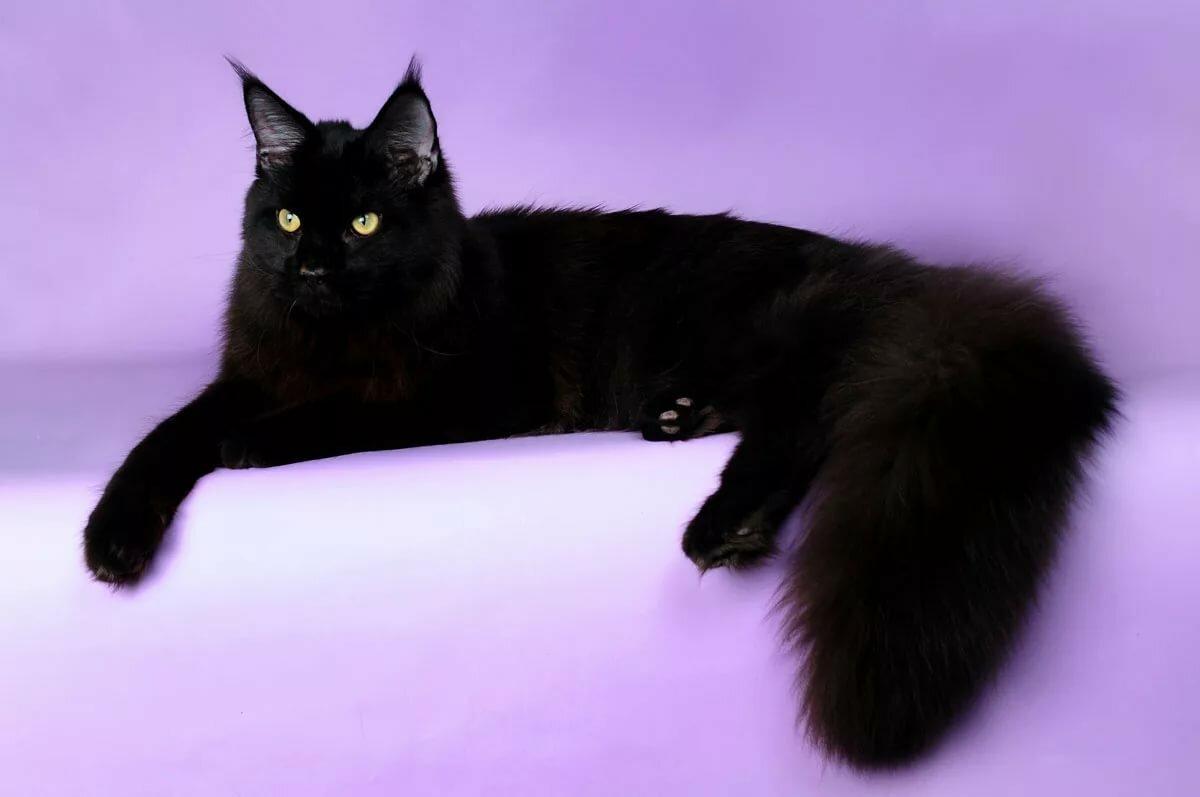 здесь картинки кошек черного окраса популярностью