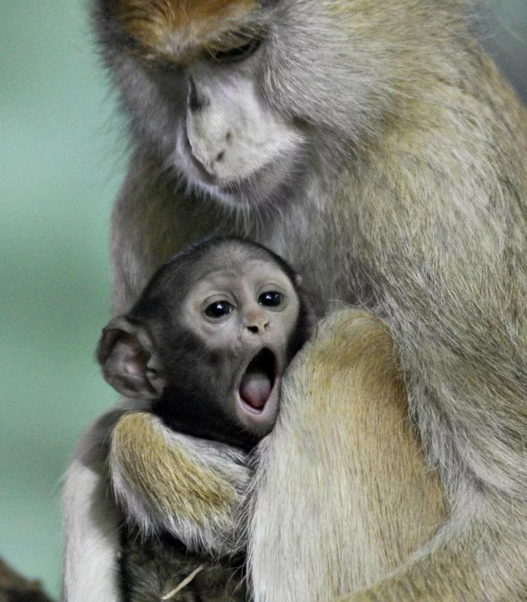 картинки обезьяны и детеныша его