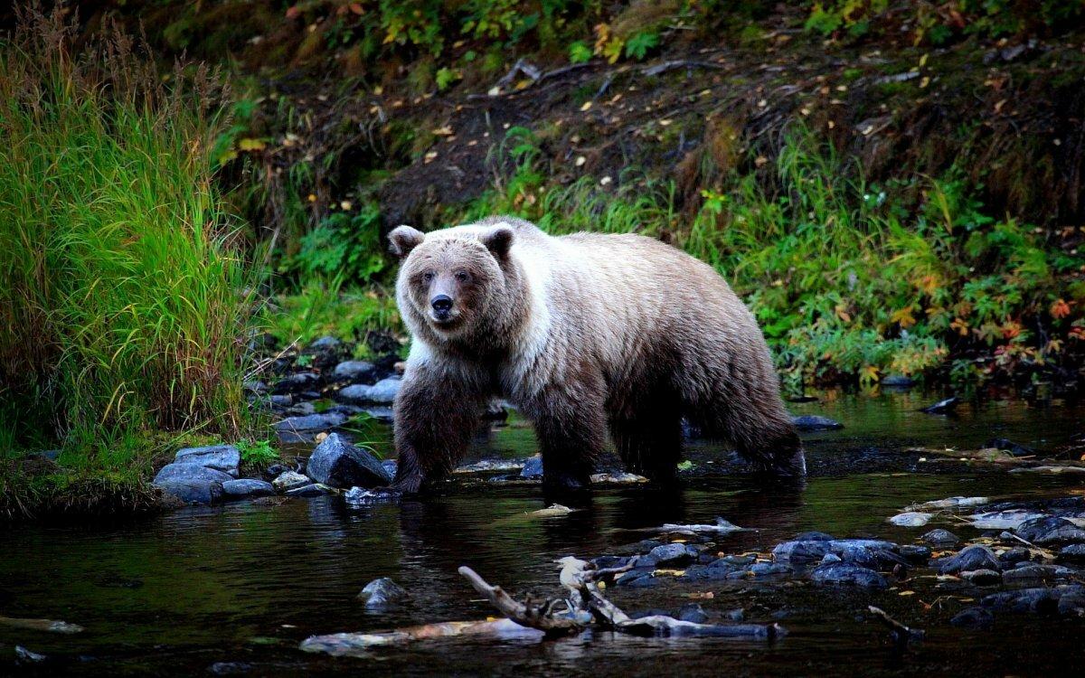 медведь таежный фото