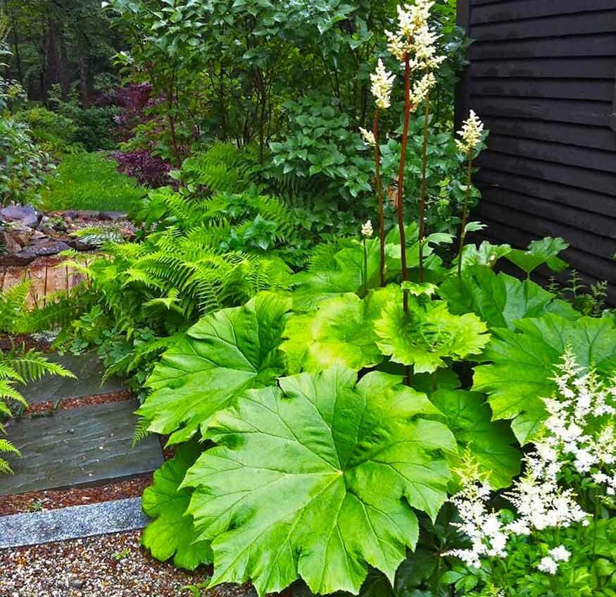 укороченном варианте астильбоидес фото выращивание таких растений, праву