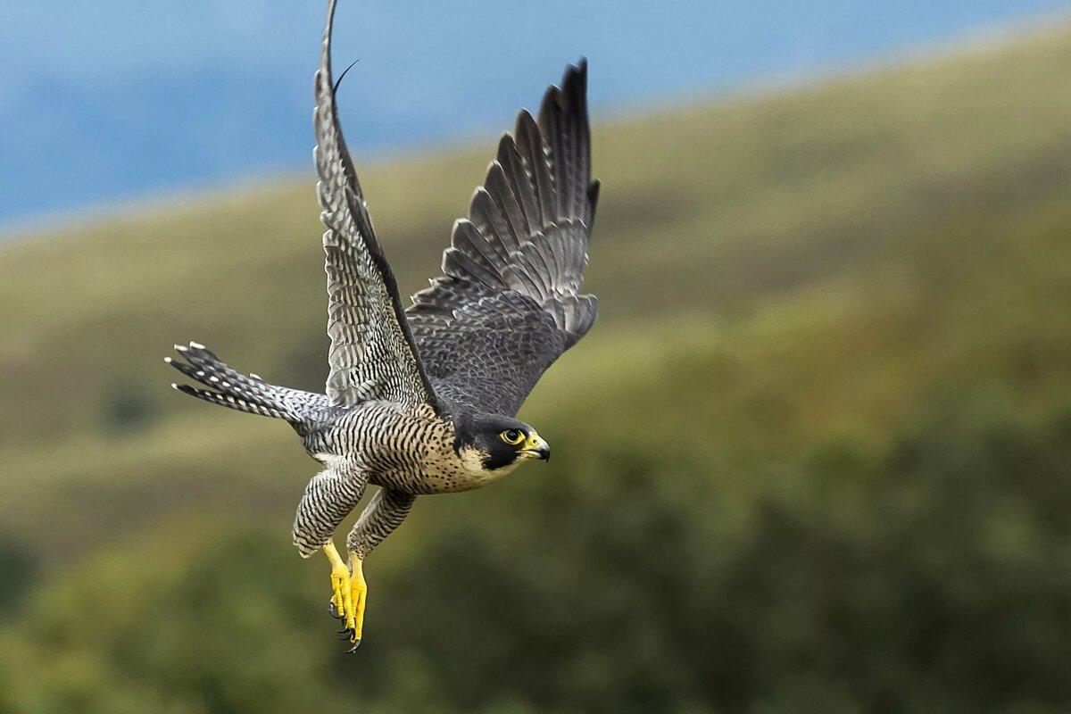 Скорость сапсана птицы