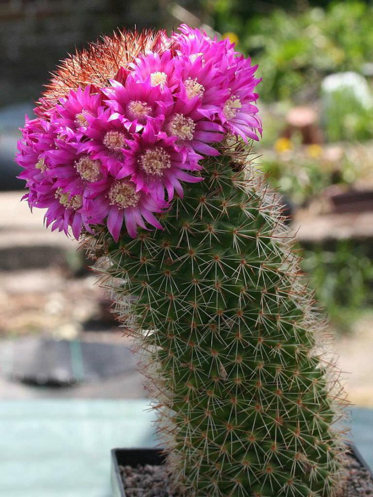 комнатные цветы кактусы фото и название юкки садовой
