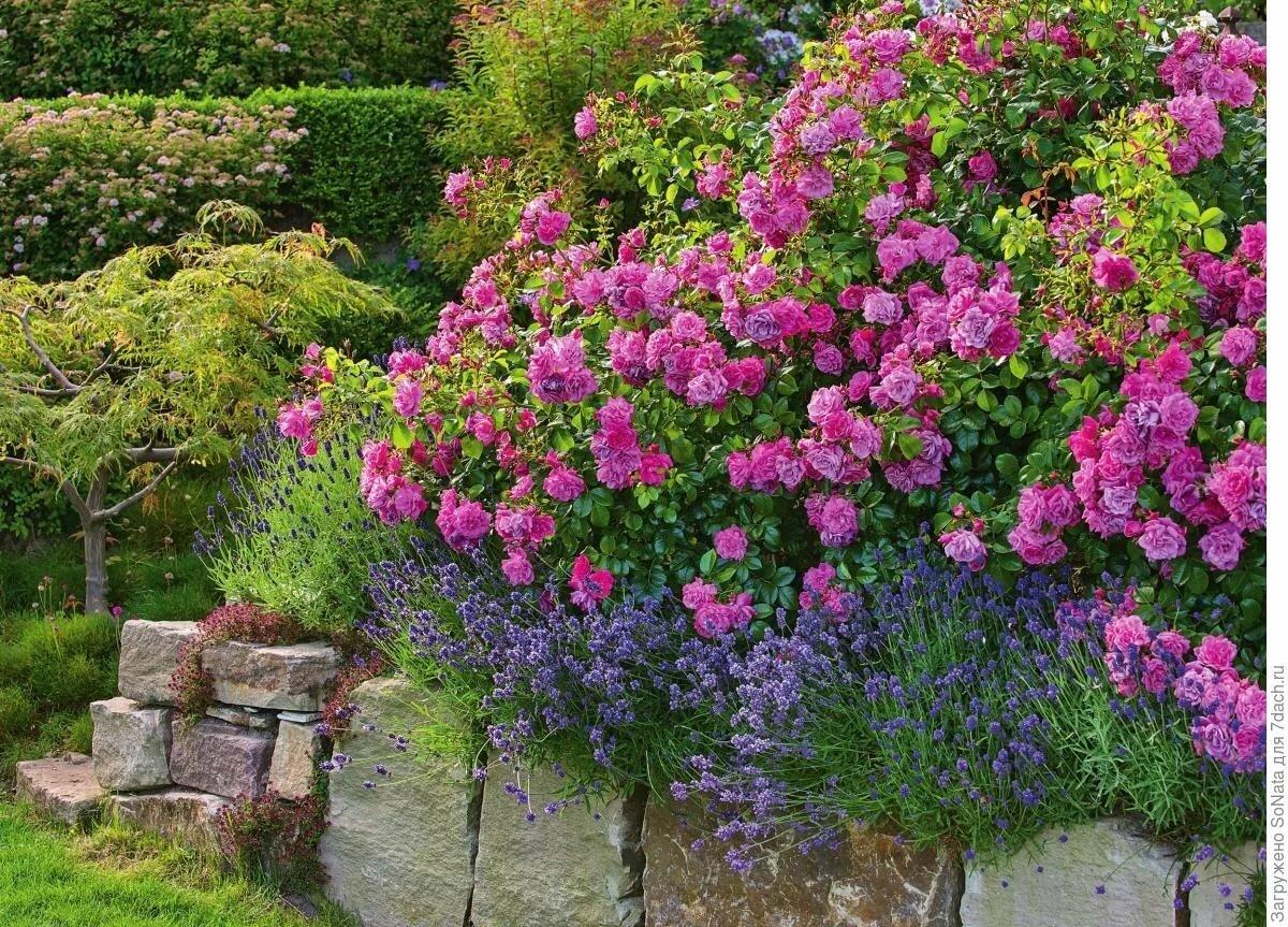 почвопокровные розы в ландшафтном дизайне фото тому же