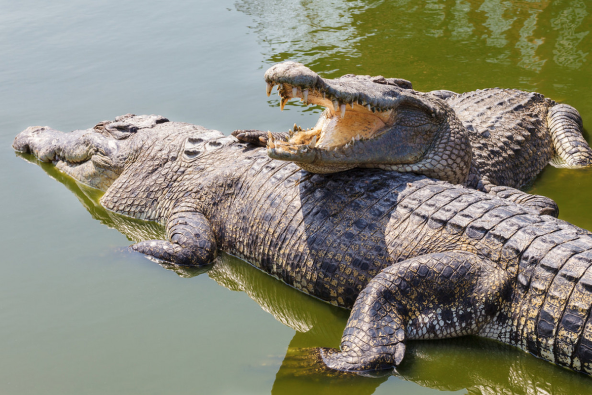 картинка крокодил в африке снимке