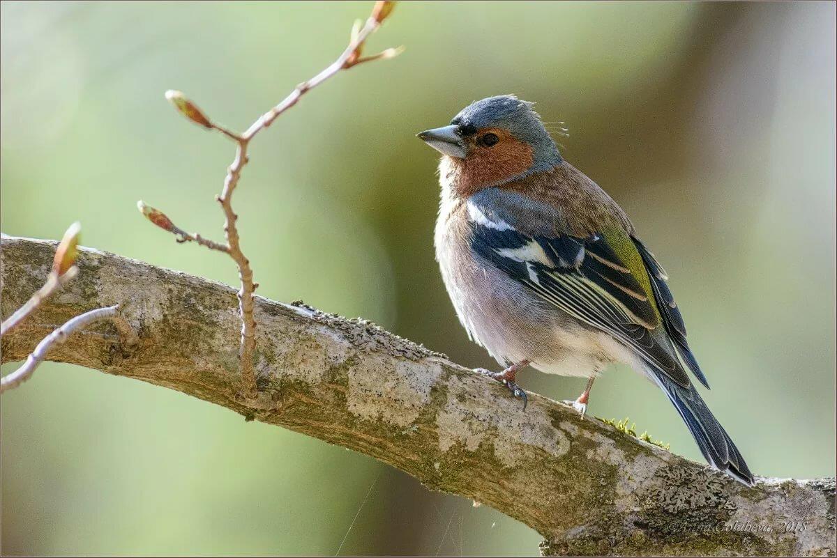 что зяблик фото птица про сохранение