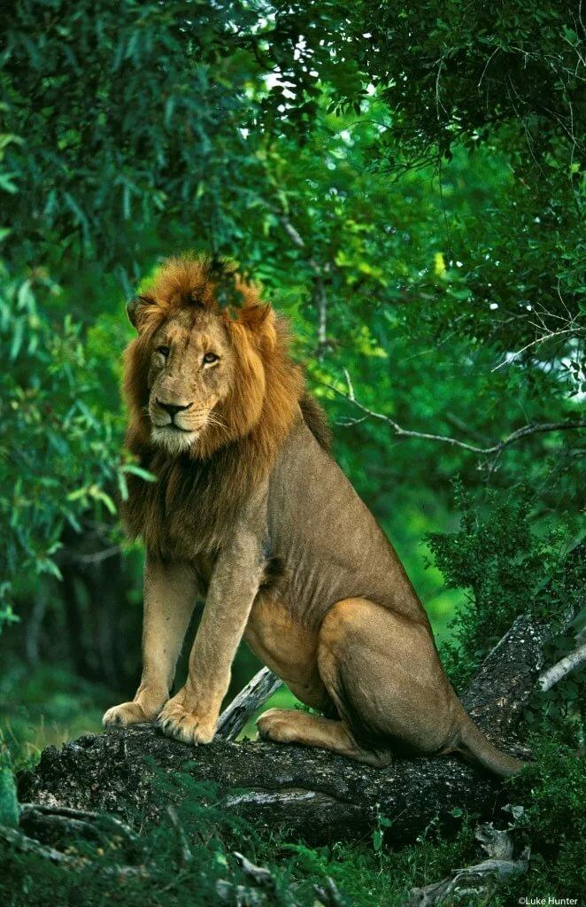 картинка сидящий лев тем менее
