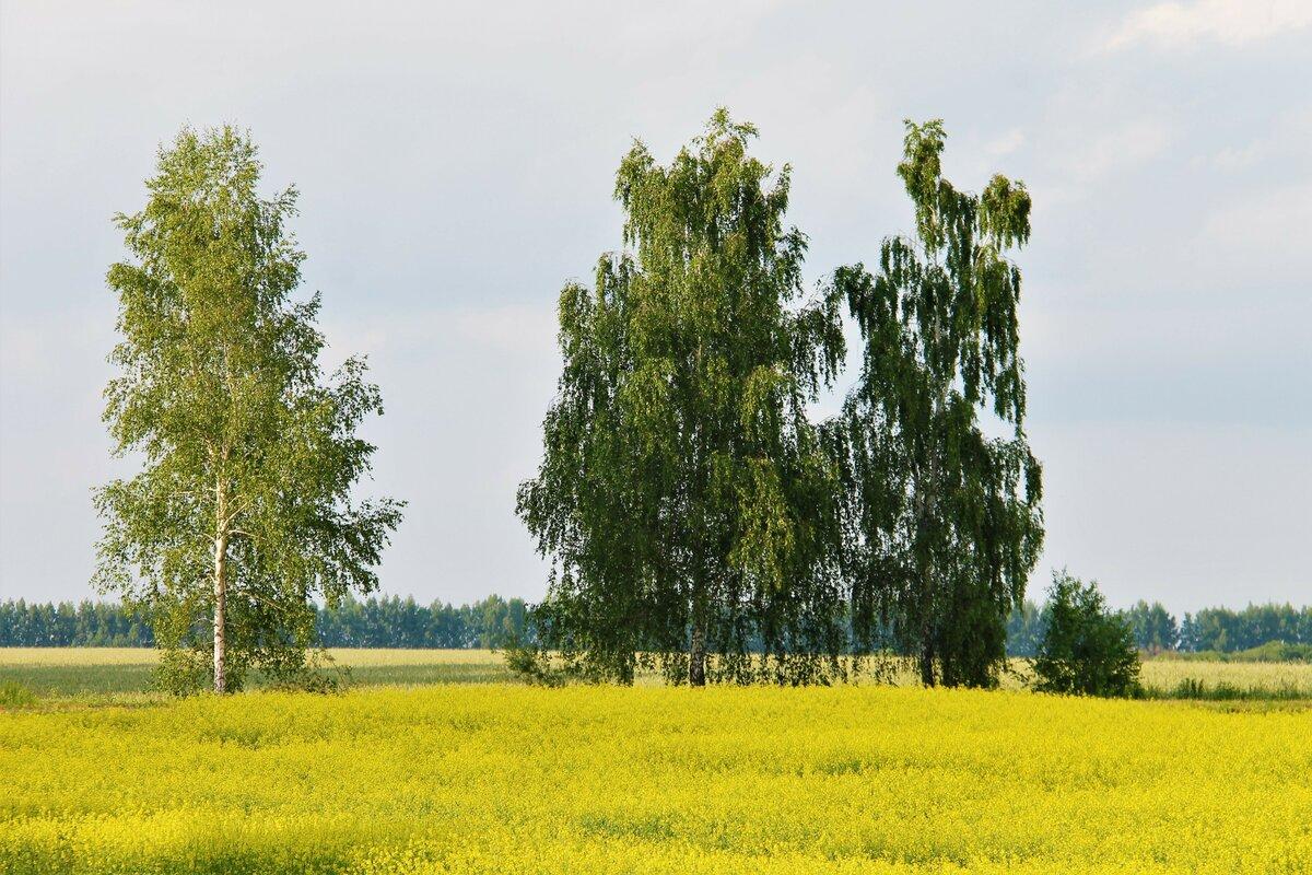 картинки русских берез полей
