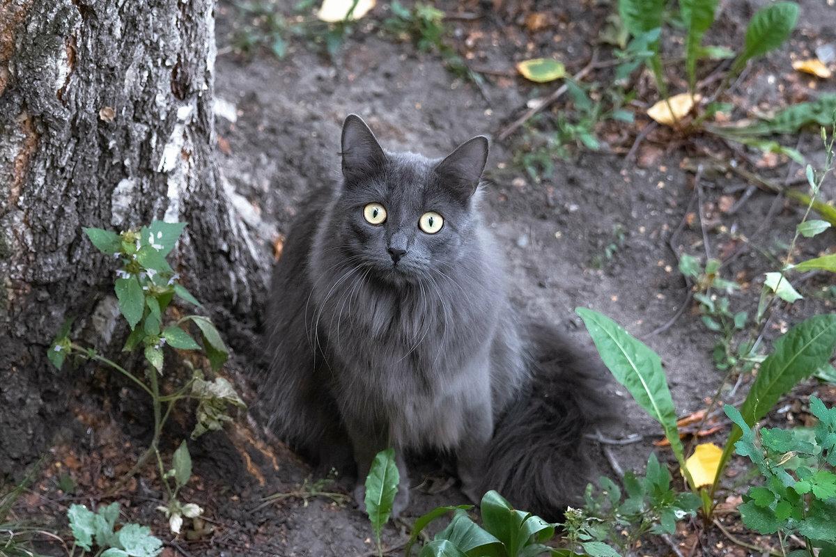 тем, как русская голубая длинношерстная кошка фото небольшой