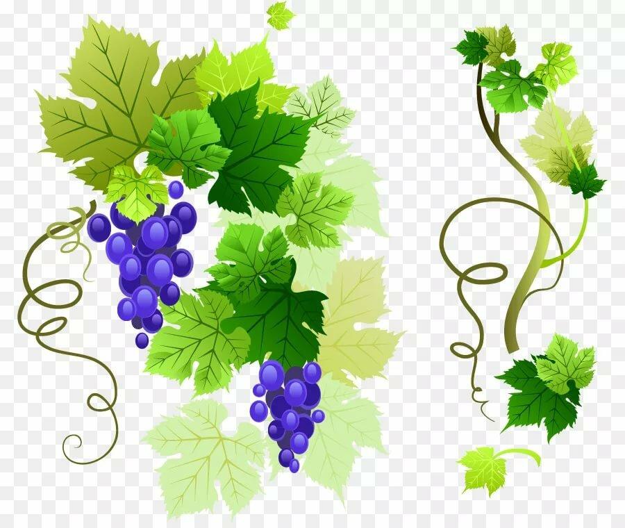 картинка виноградной ветки себя