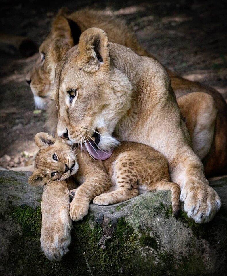 создал трогательные фото животных с детенышами как