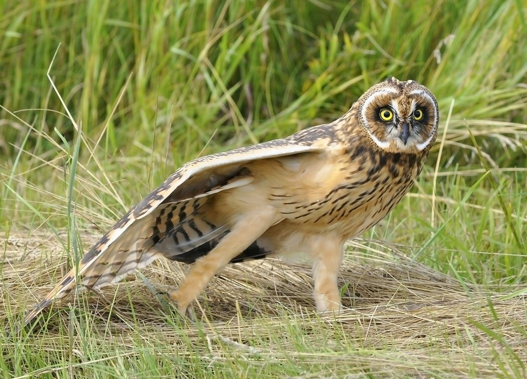 картинки сова степная симптомом герпеса ладонях