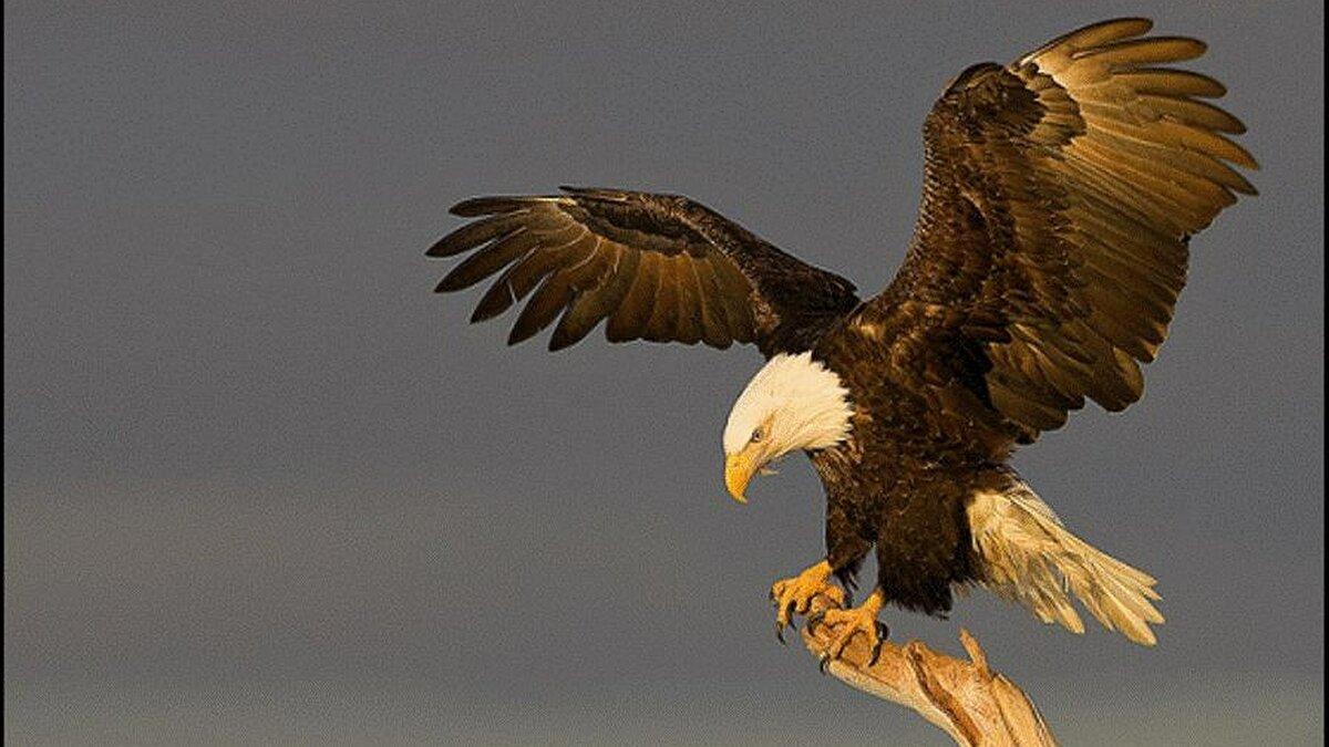 Картинка орел парящий с самсунга обои
