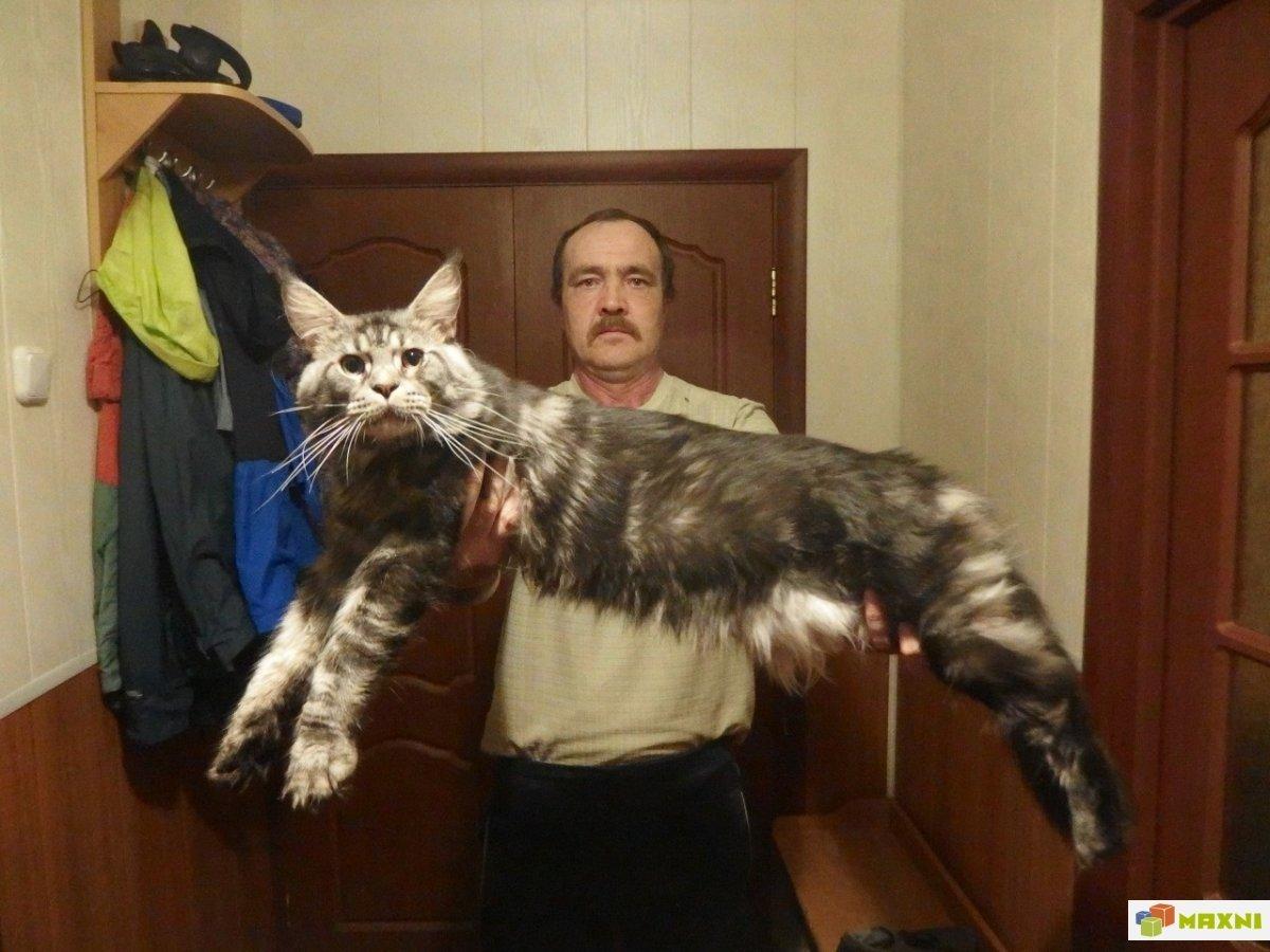 Кот мэйкун фото с человеком