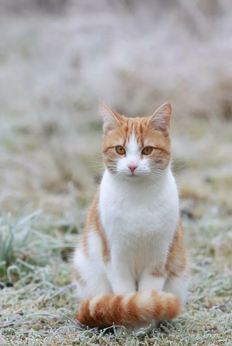 Праздничные, картинки кошек рыжих с белым