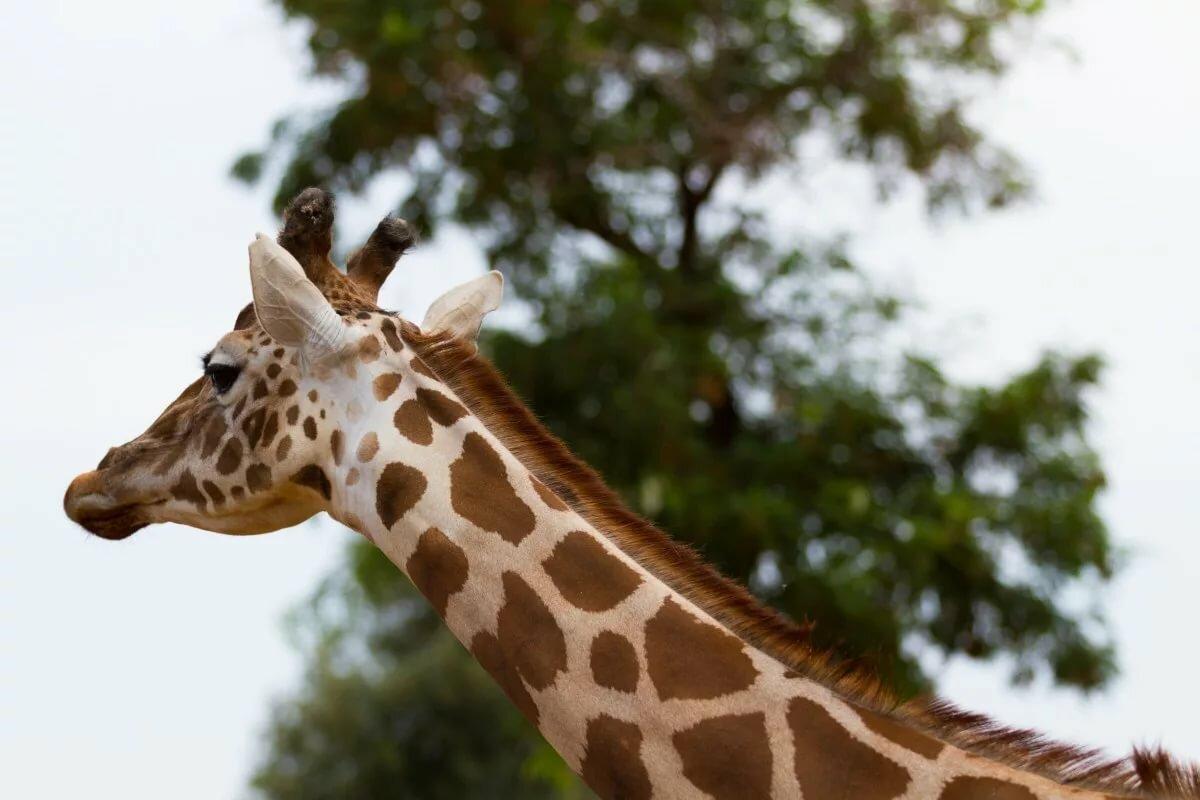 таком виде жираф картинка картинка глазами предстает картина