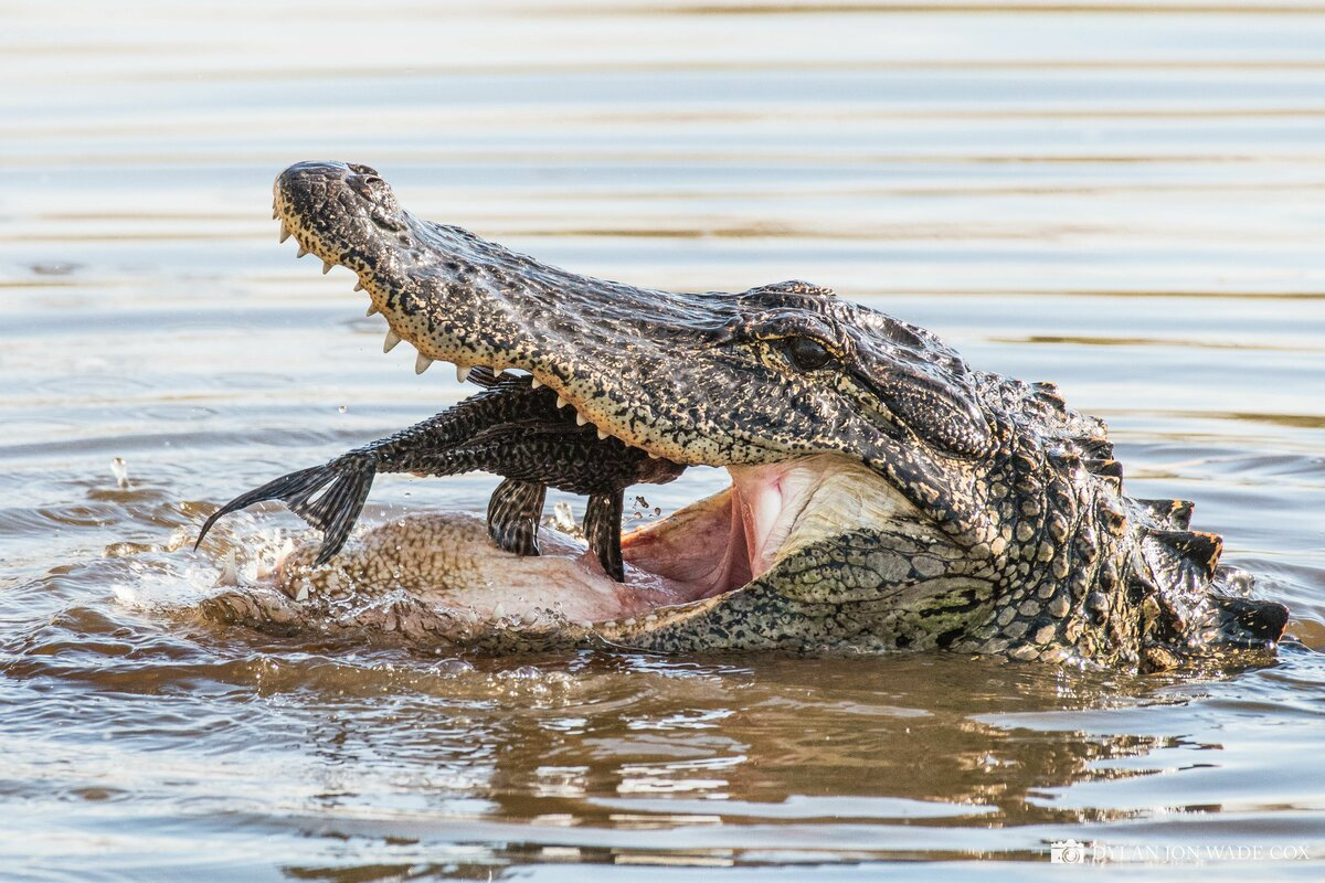 Прикольная картинка крокодил, сюрприз своими руками
