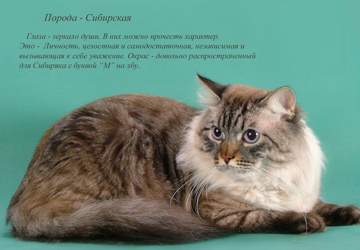 Породистые кошки картинки с названиями